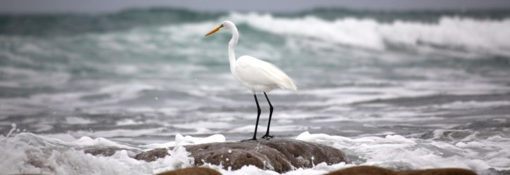 Egret at Bathtub Reef Beach